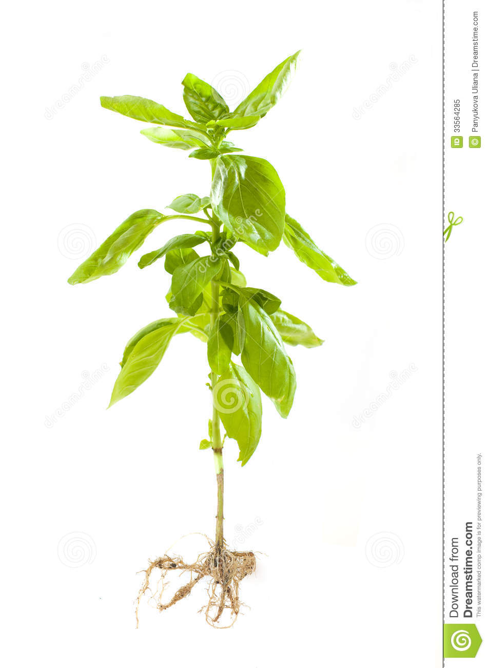 Basil Plant With Roots Royalty Free Stock Photo - Image: 33564285