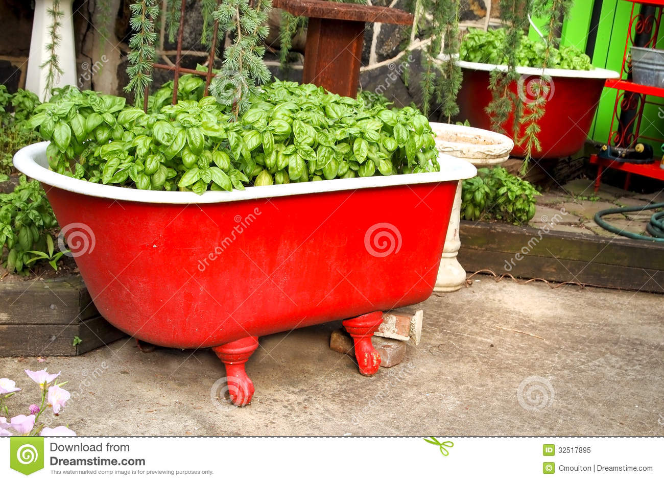 Basil In A Red Bathtub Royalty Free Stock Photo Image 32517895