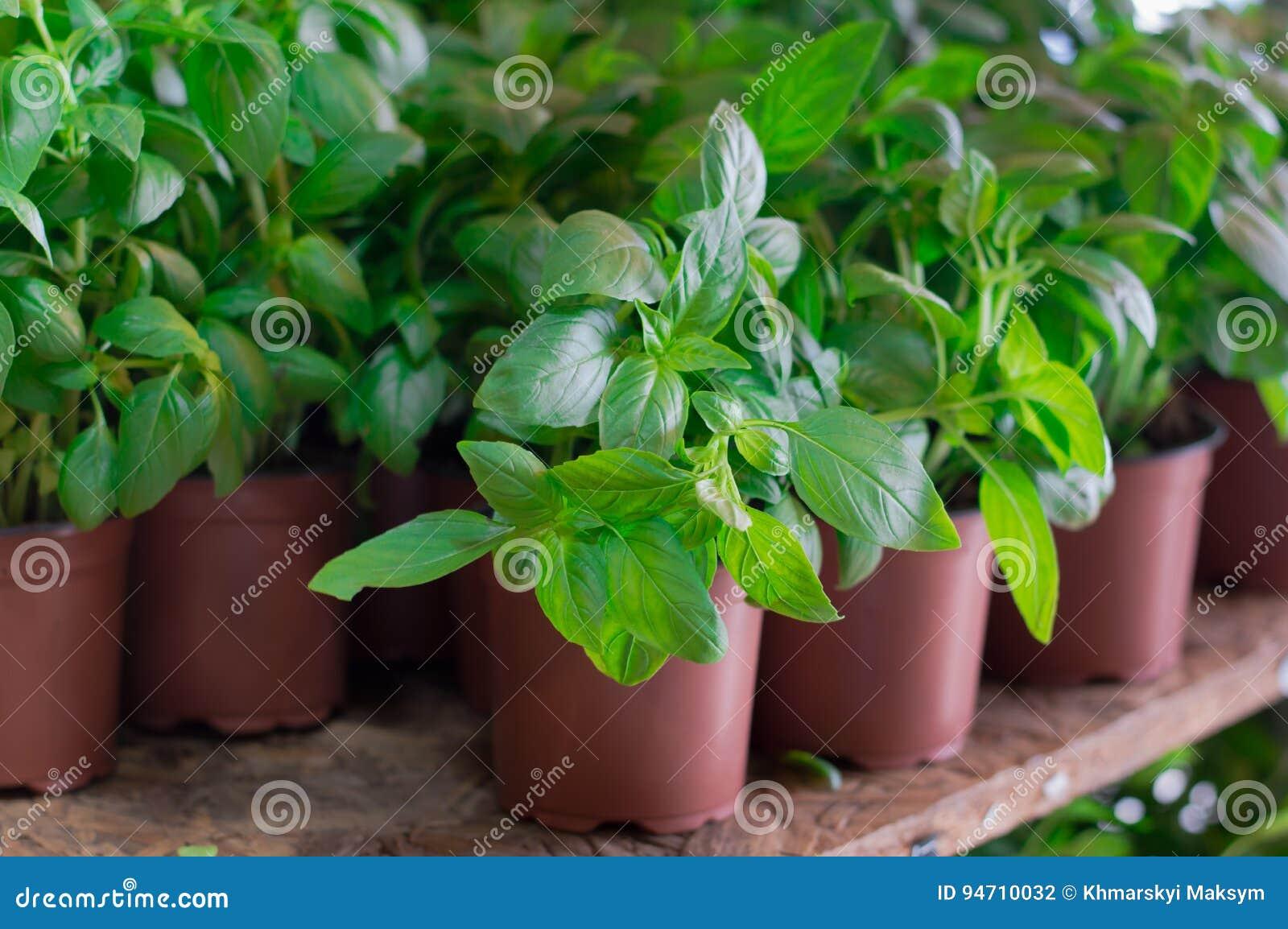 Basilic frais à vendre sur le farmer& x27 ; marché de s Fond d agriculture Plan rapproché Vue supérieure
