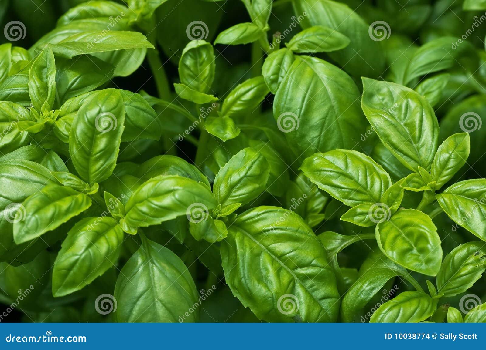 Basilic organique