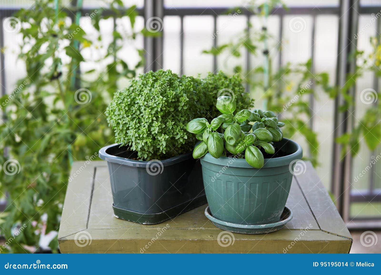 Basilikumkrautanlage, die in einem Topf wächst