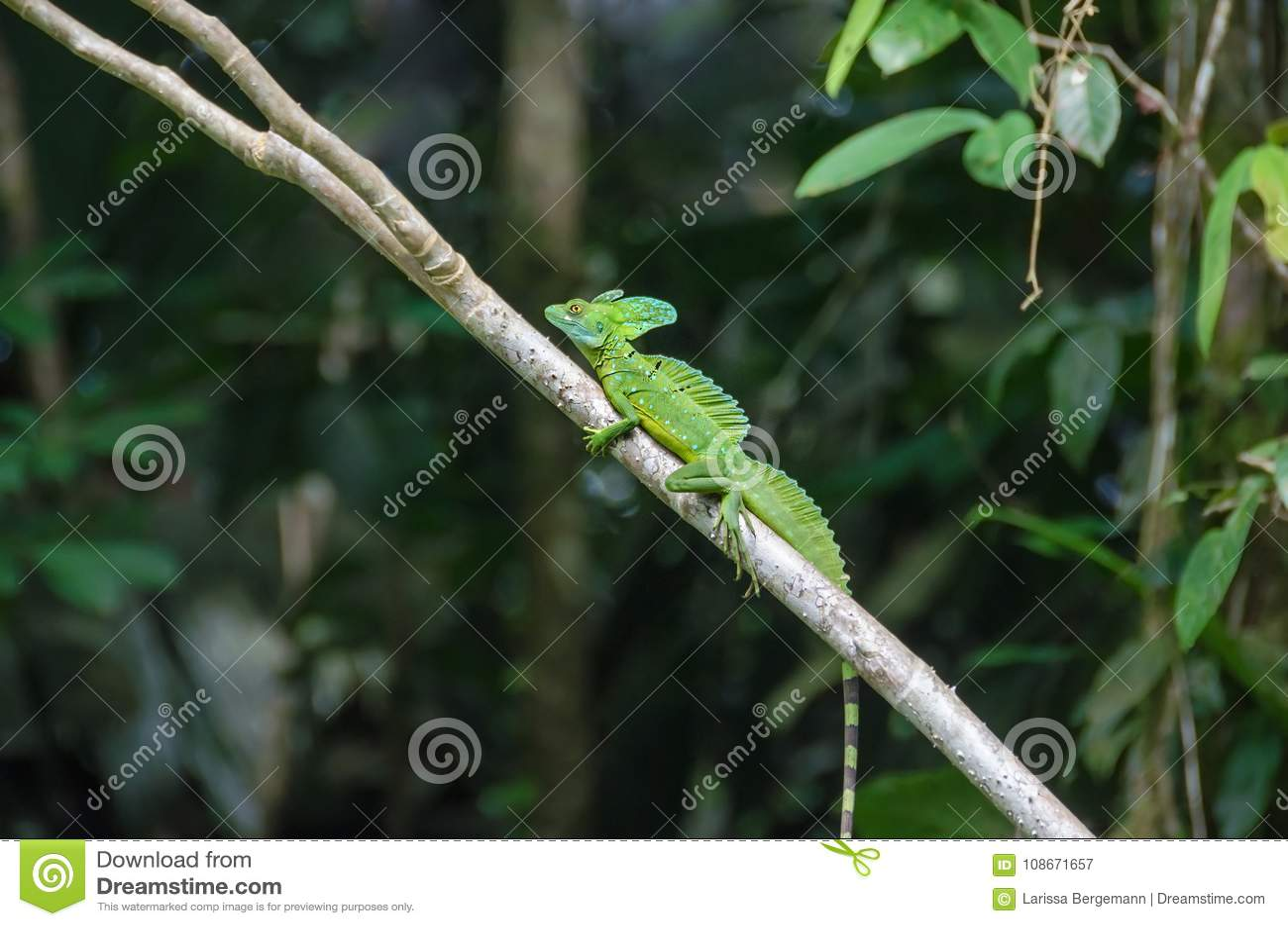 Basilisco ou lagarto Plumed de Jesus Christ no Pa nacional de Tortuguero