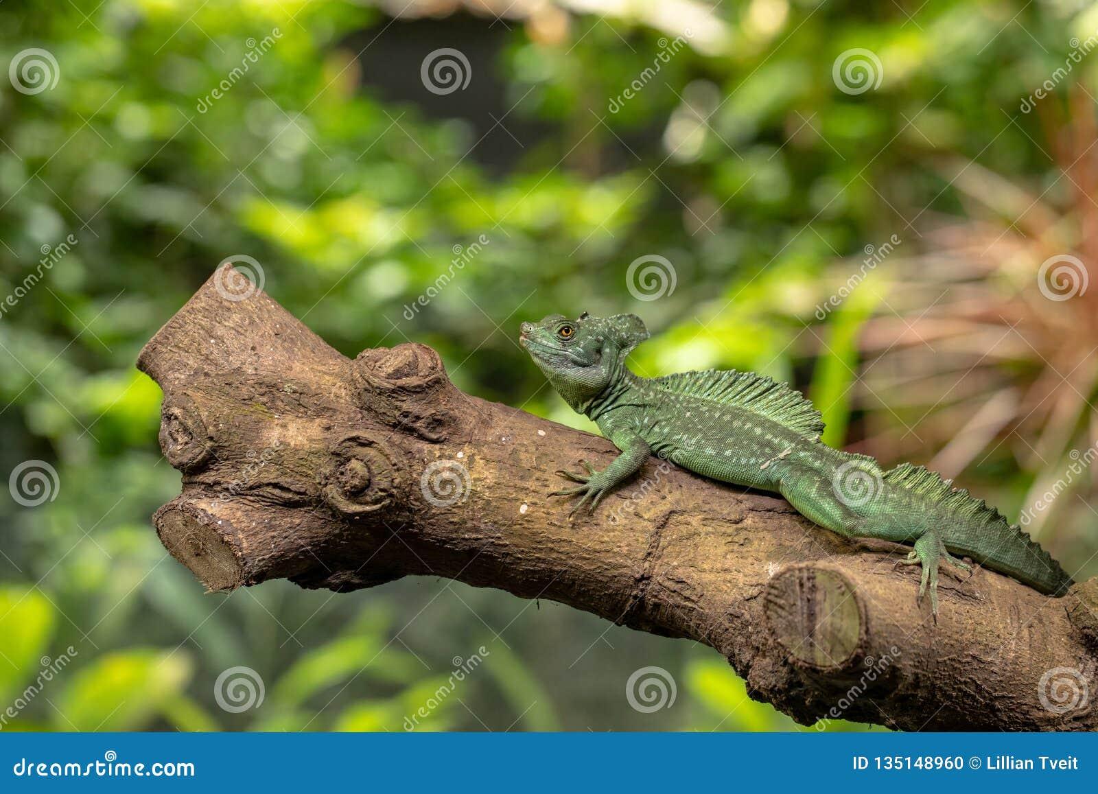 Basilisco piumato, plumifrons di basilisco, anche conosciuti come il basilisco verde Animale maschio