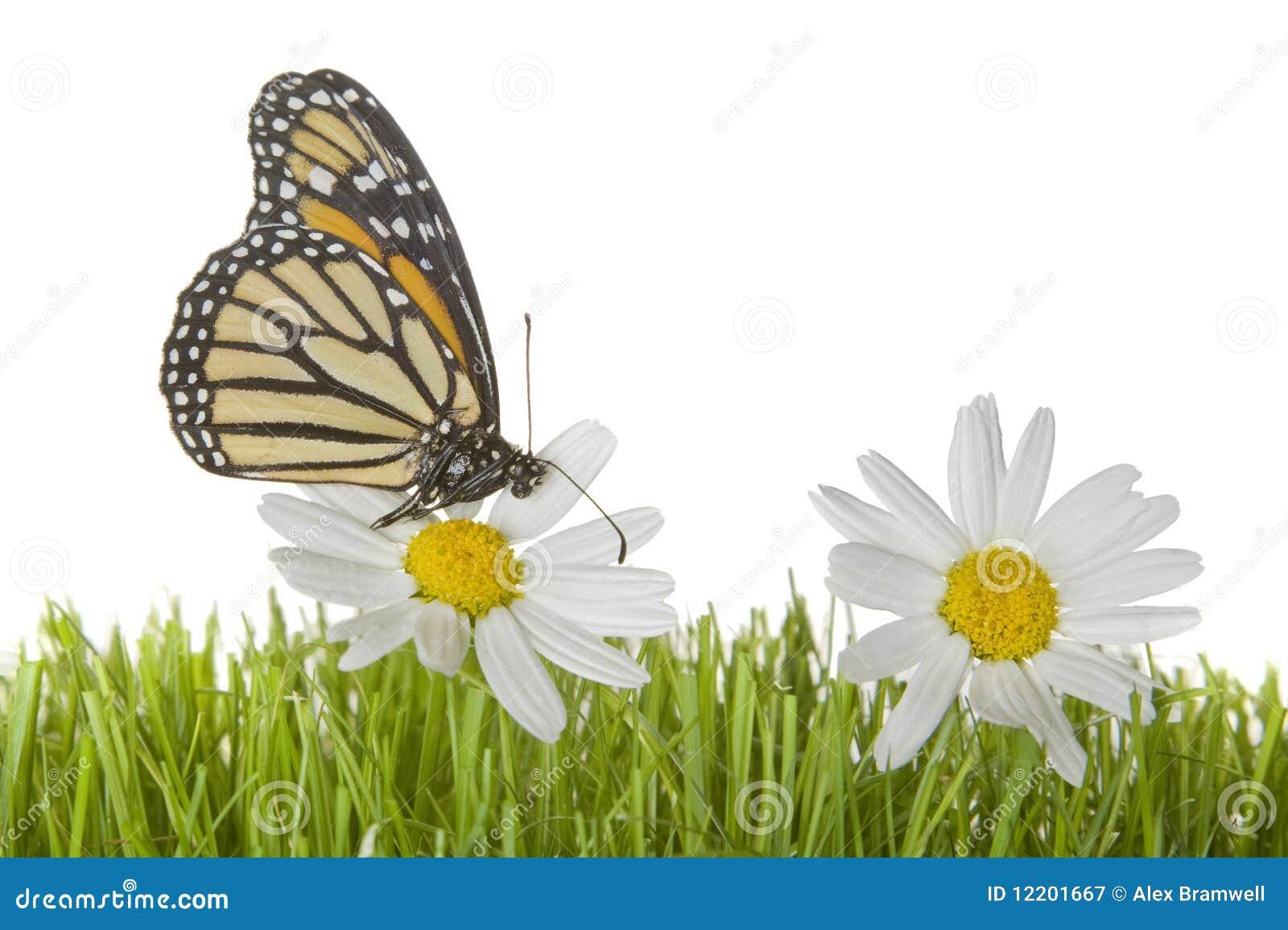 Basisrecheneinheit auf Gänseblümchenblume