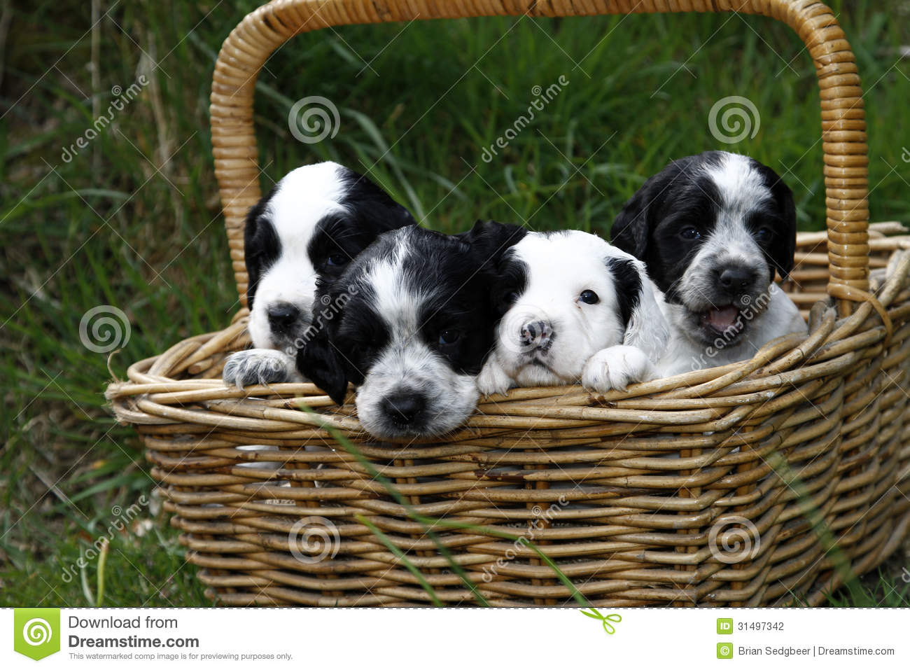 Basket Full Of Puppies Stock Photography Image 31497342