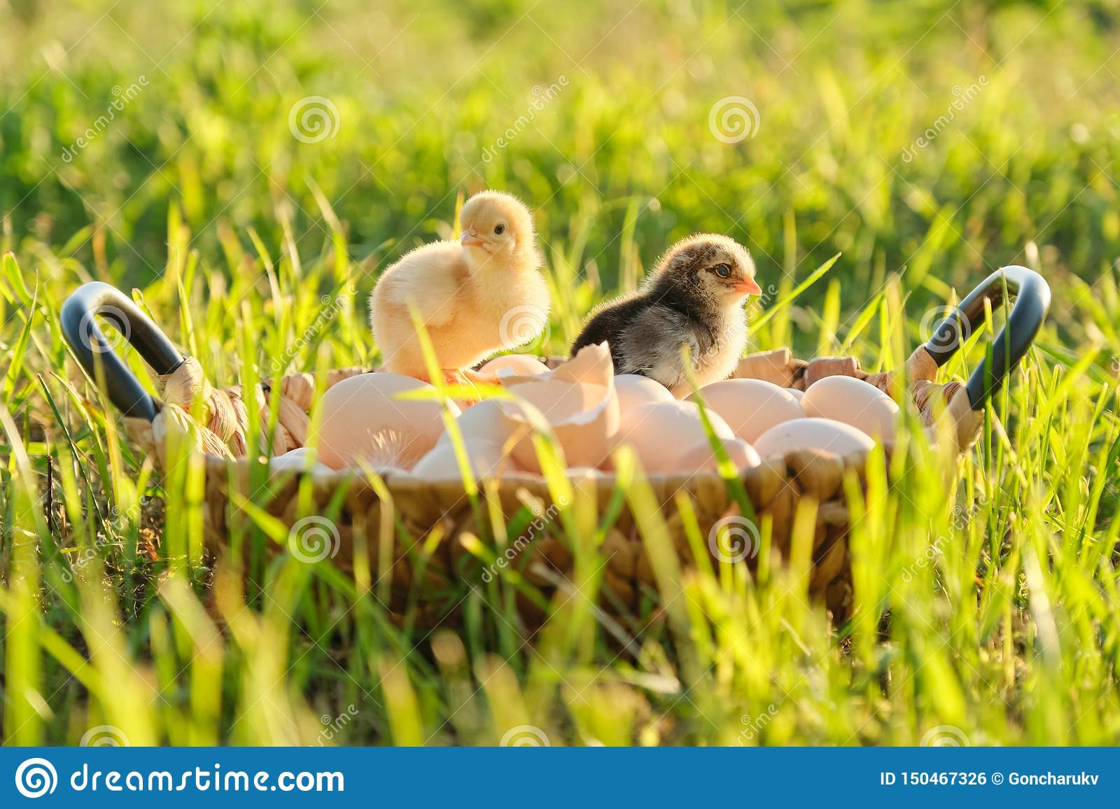 Basket with natural fresh organic eggs with two little newborn baby chickens, grass nature background