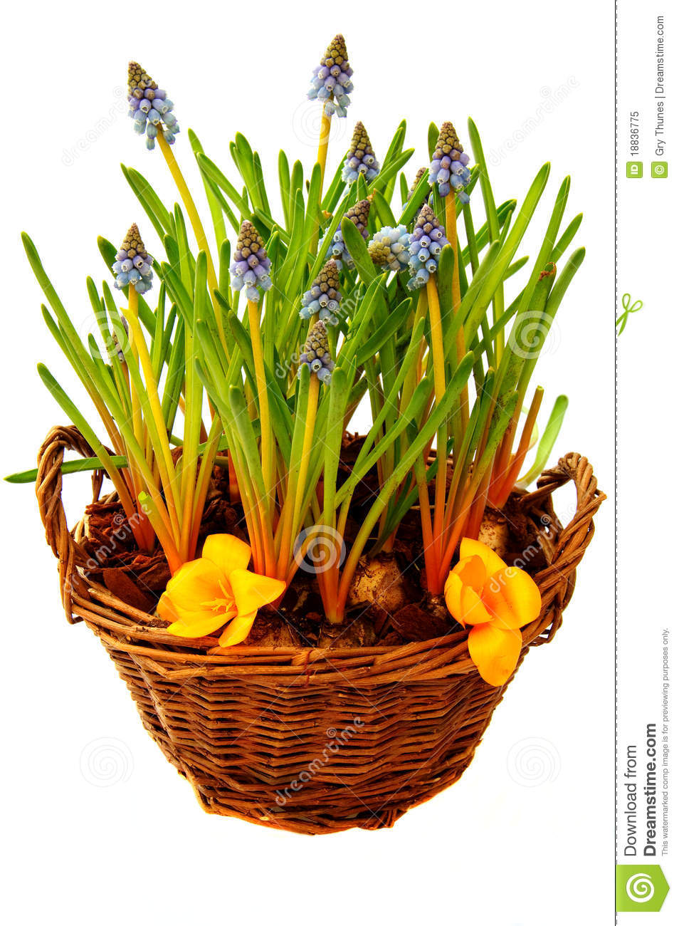 Flower Bulb Baskets : Basket with spring flowers stock image of bulbs