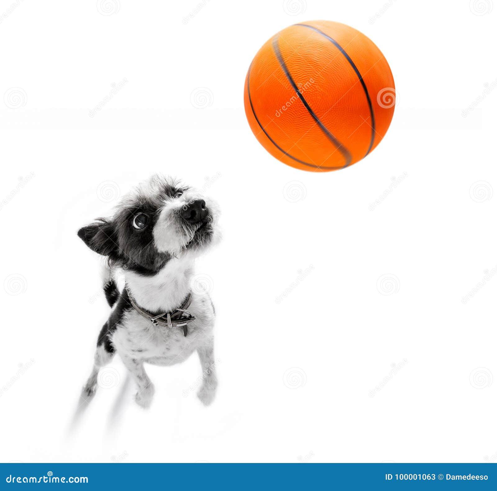 Basketball poodle dog