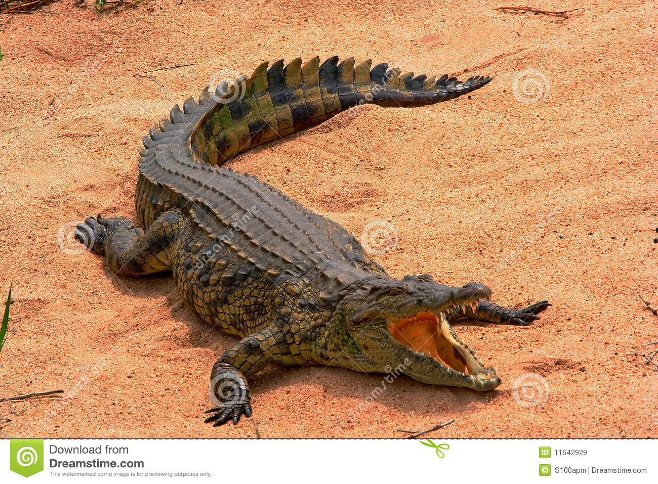 Basking Crocodile  Crocodile