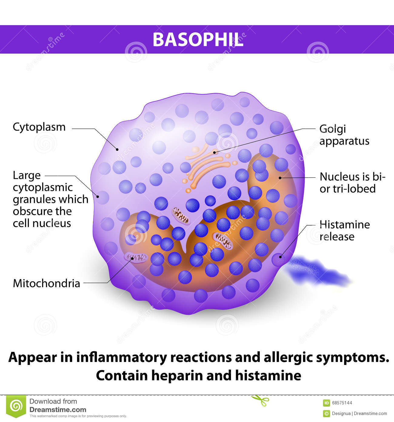 Basophil Stock Vector - Image: 68575144