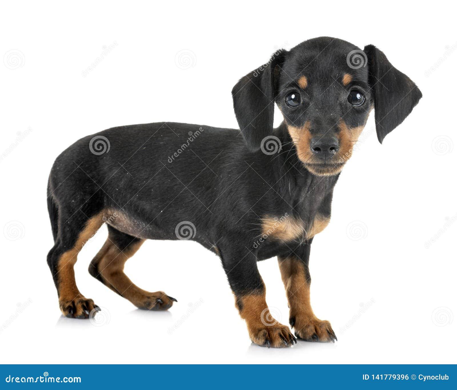 Bassê diminuto do cachorrinho