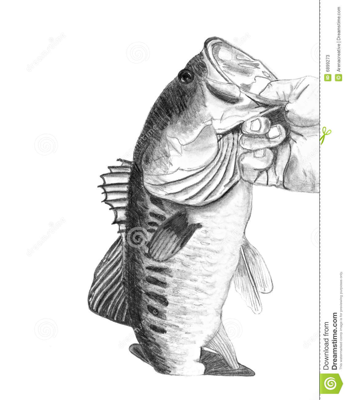 Bass Fish Drawing Stock Illustration Illustration Of Creel 6899273
