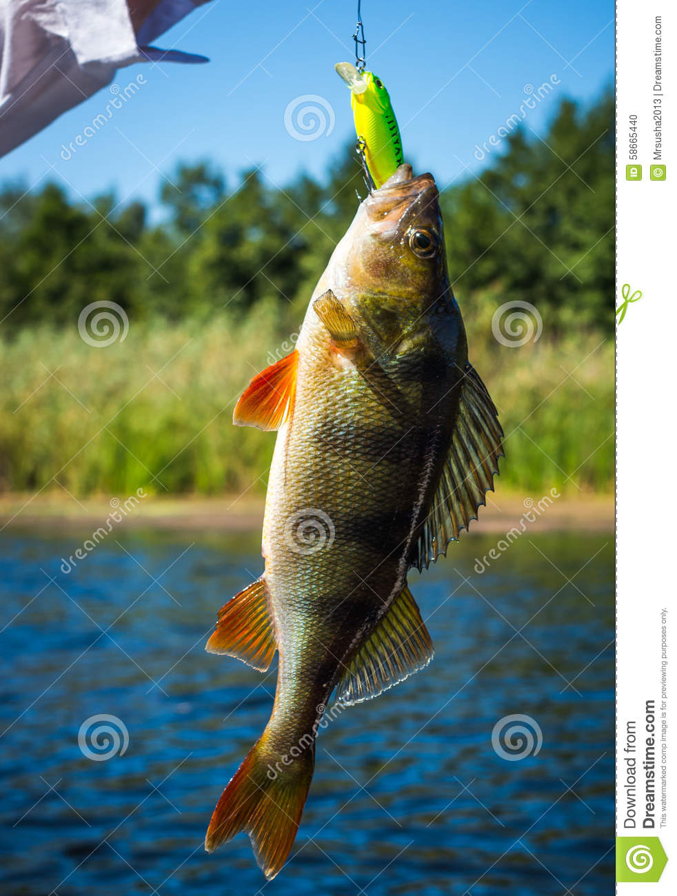 Bass stock photo image 58665440 for Bass fishing times