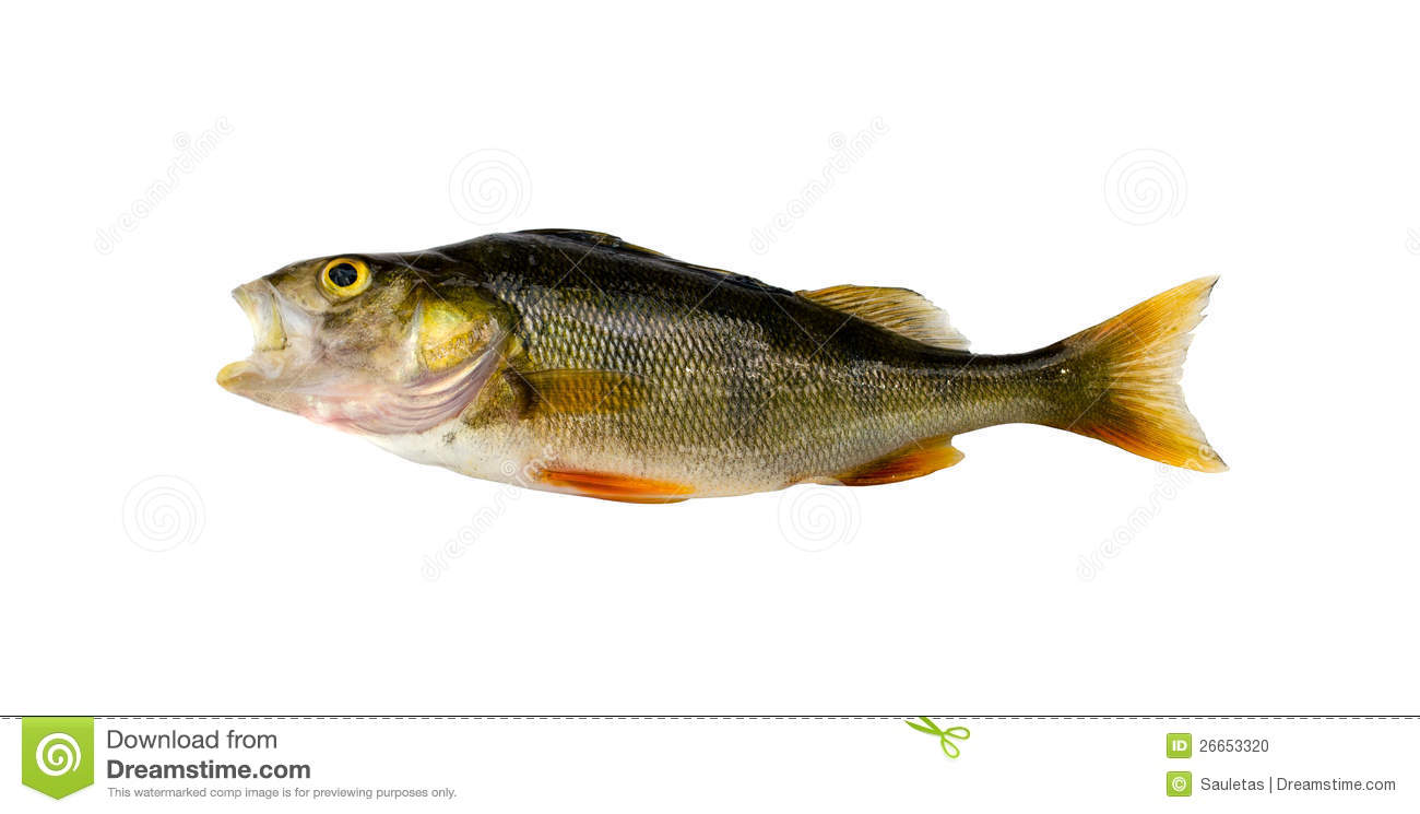 Bass perch fish after fishing isolated on white stock for White perch fish