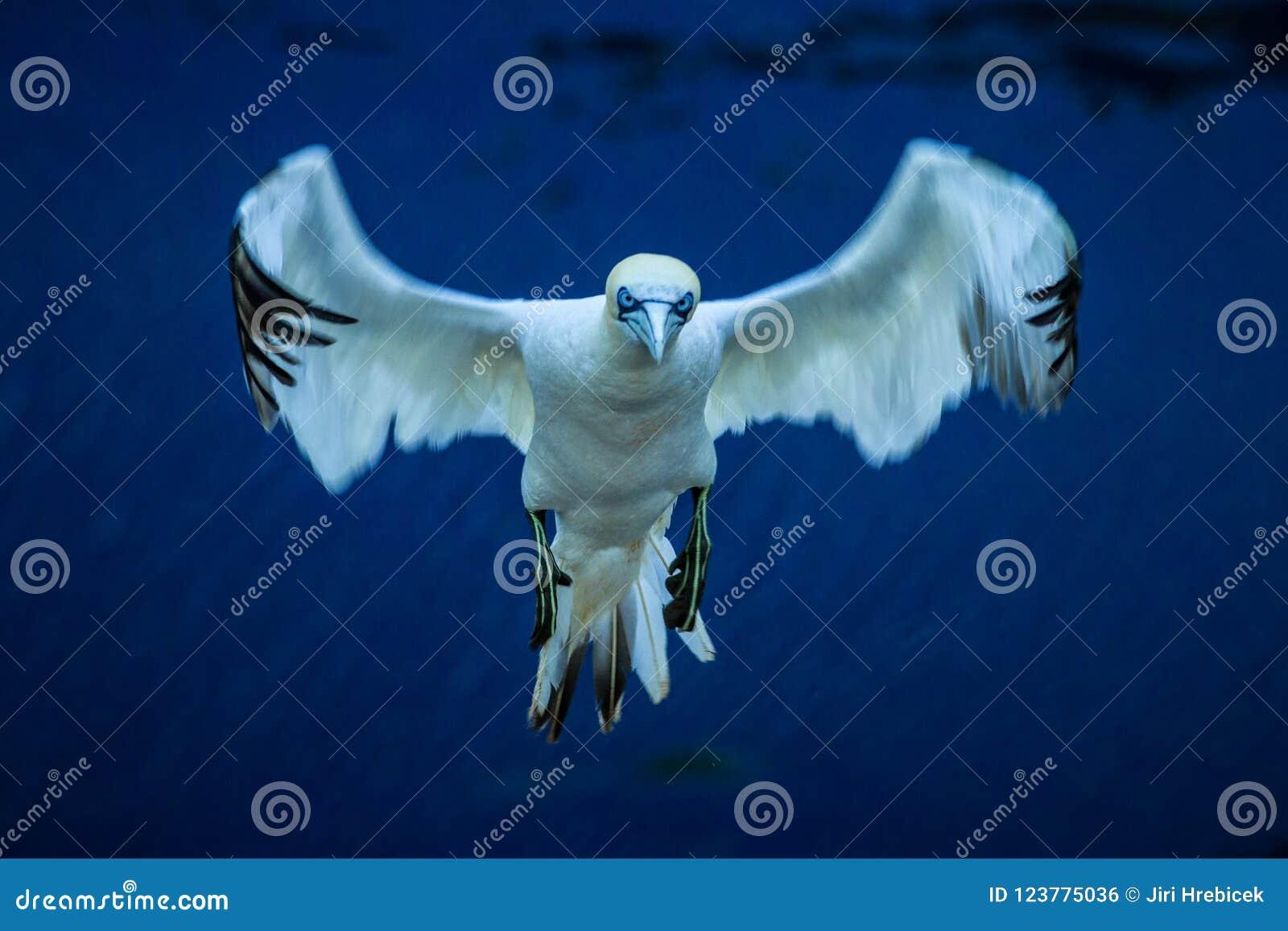 Bassanus nordico del Morus di sula che atterra in volo al nido