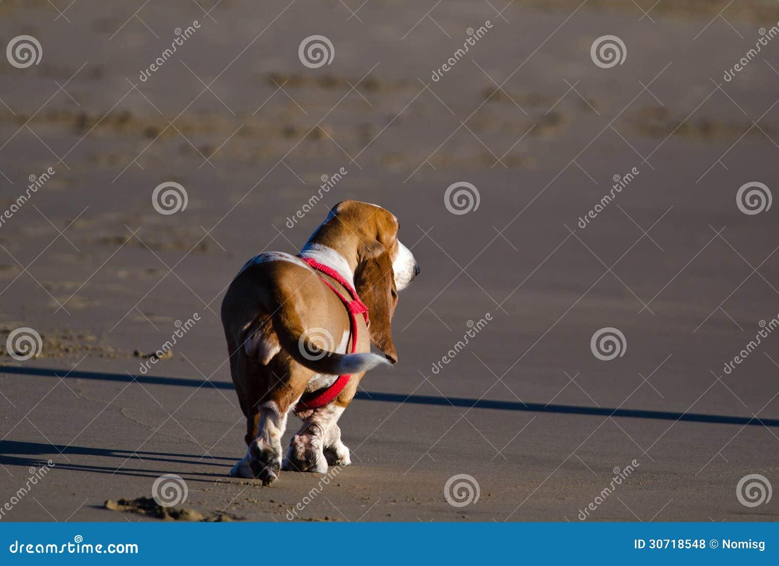 Basset hond op strand