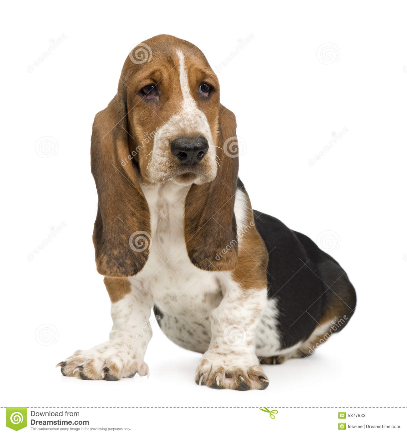 More similar stock images of ` Basset Hound (3 months) - hush puppy `