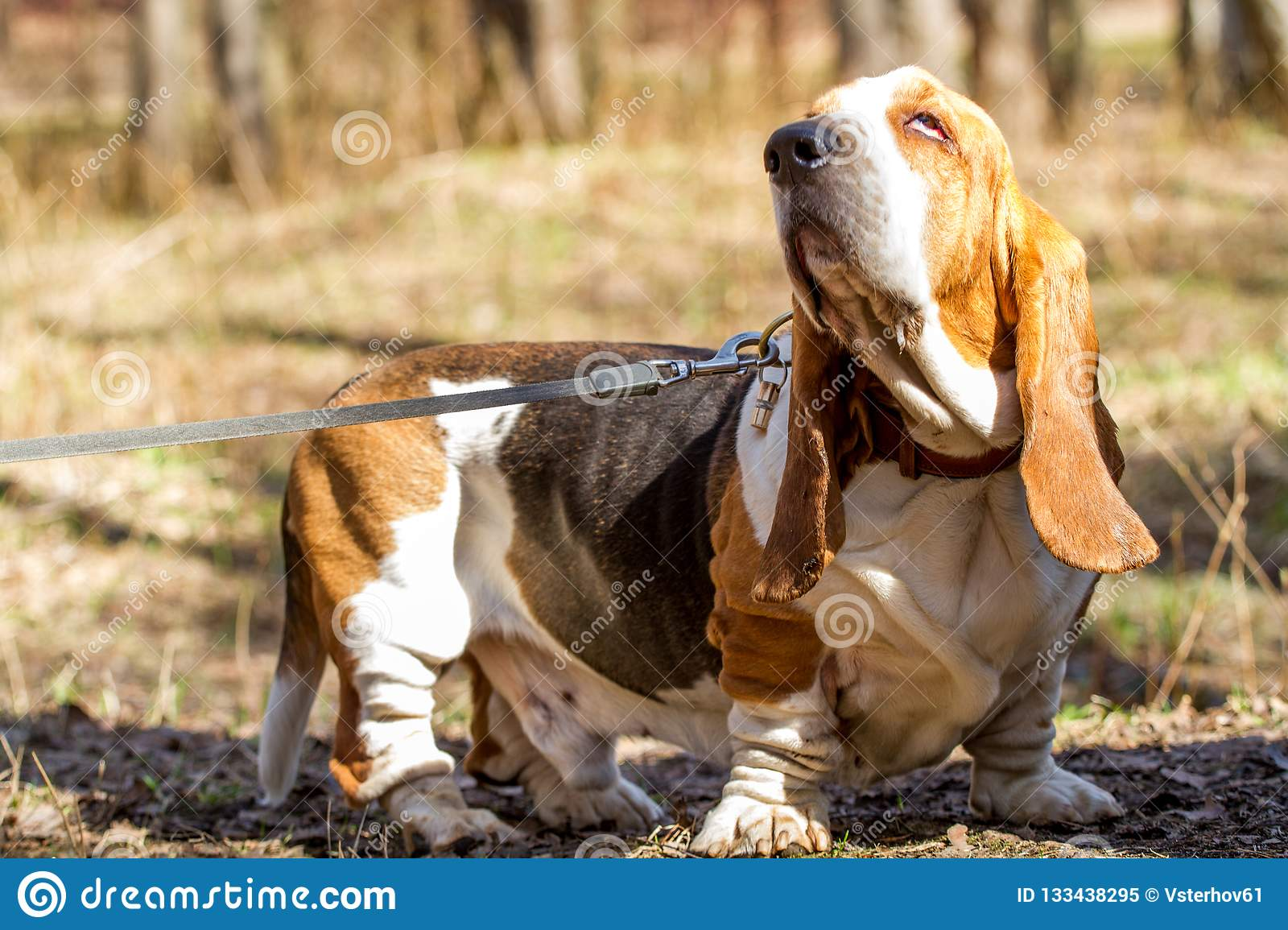 Basset Hound A Breed Of Beagle Dogs Bred In England Stock Image Image Of Elite Pets 133438295