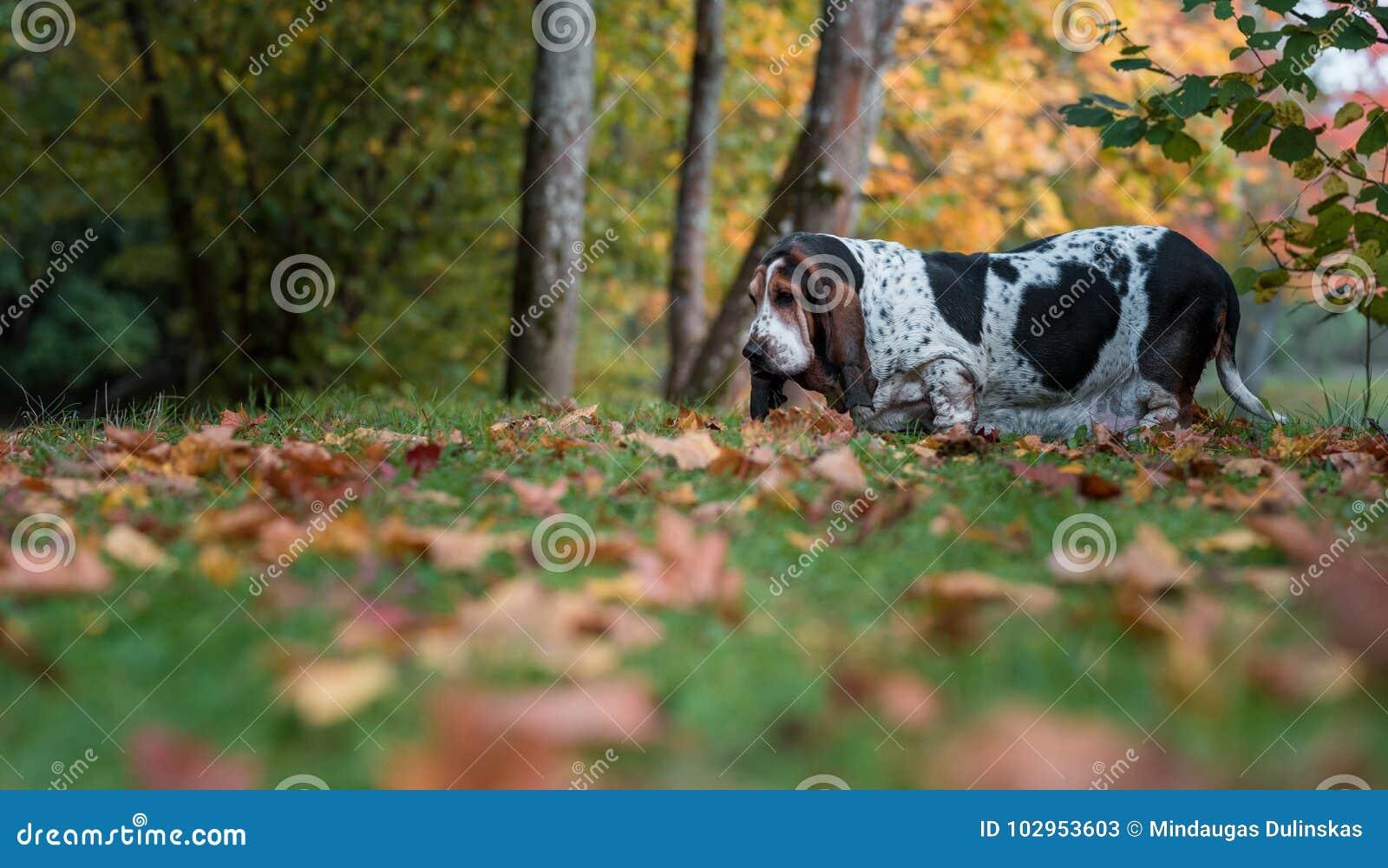 Basset Hound Dog Walks on the Autumn Leaves. Portrait.
