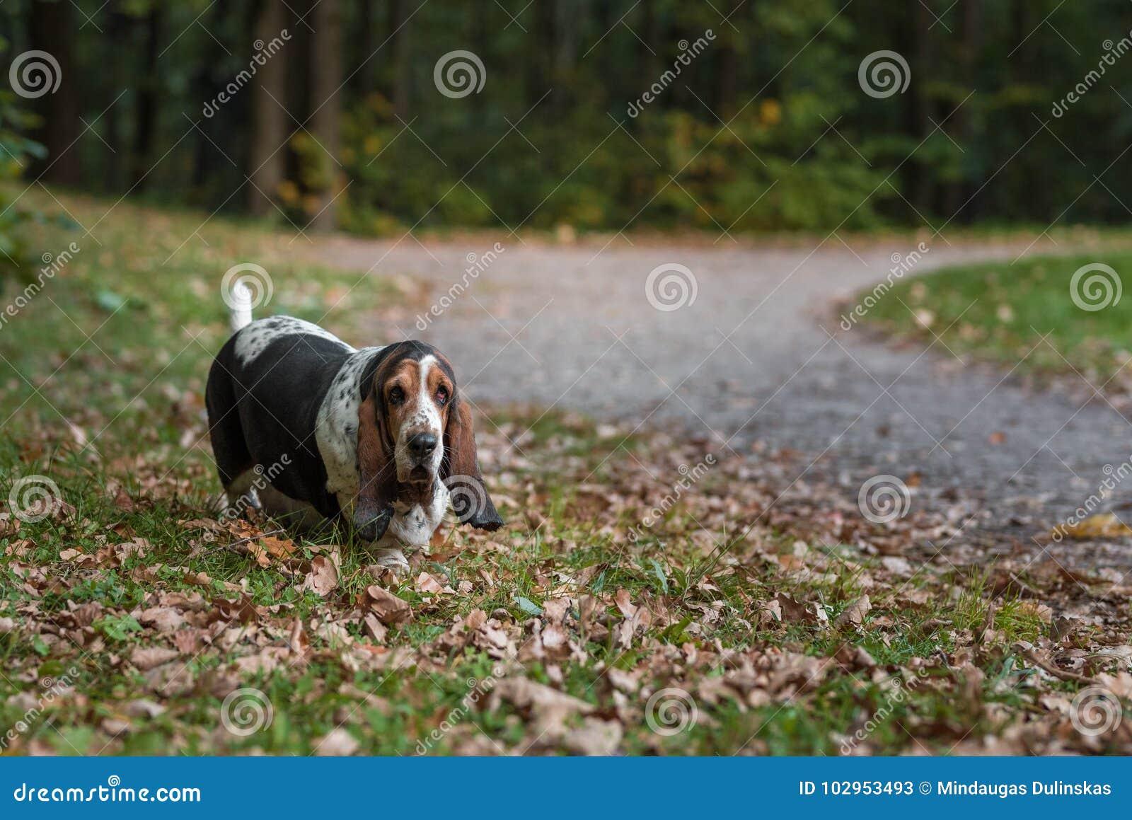 Basset Hound Dog Walks on Path.