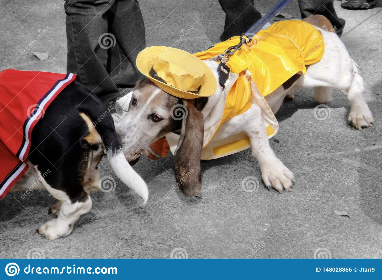 Basset Hound Dressed as Sailor Sniffing Butt at Halloween