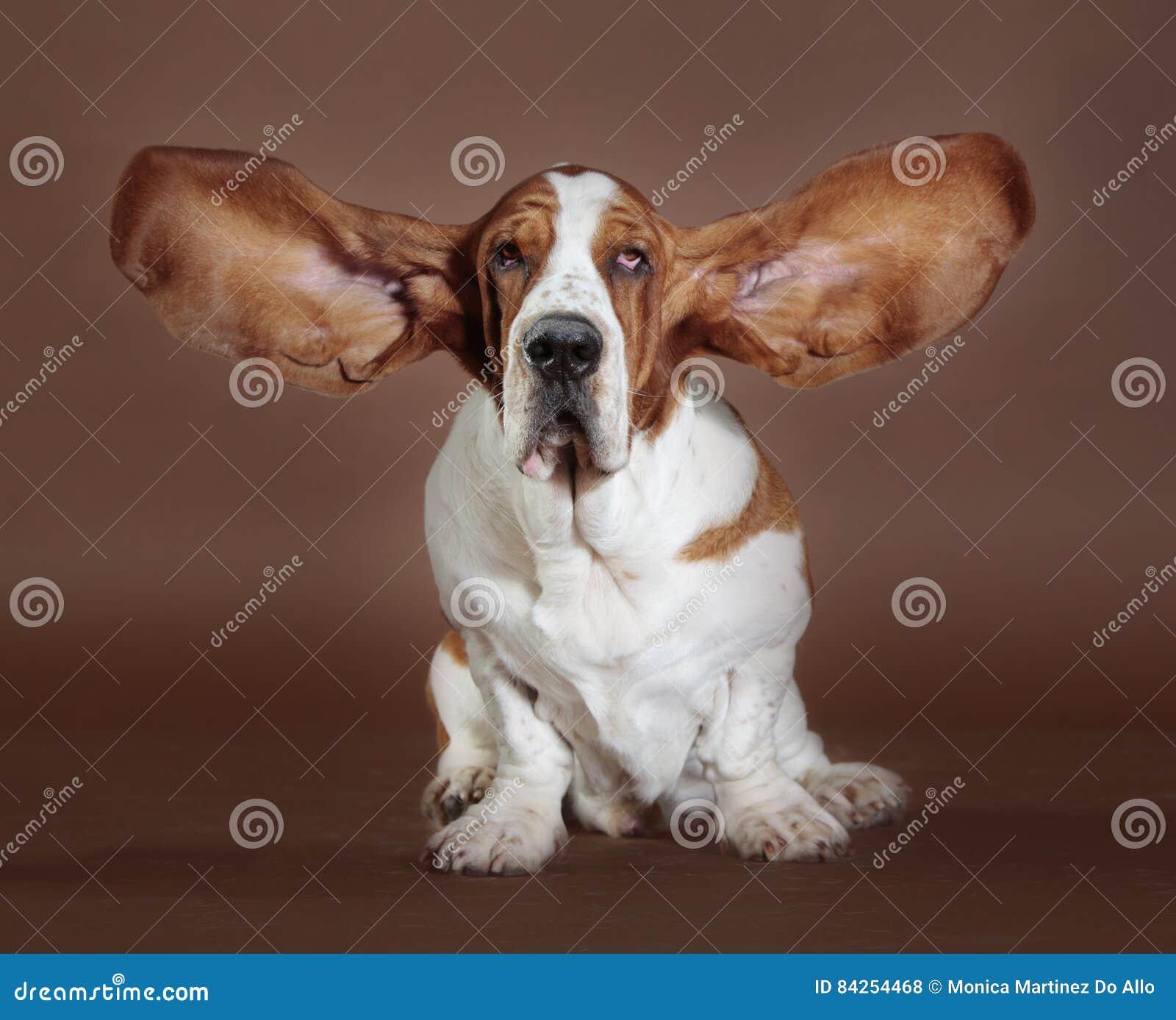 Basset hound ears stand
