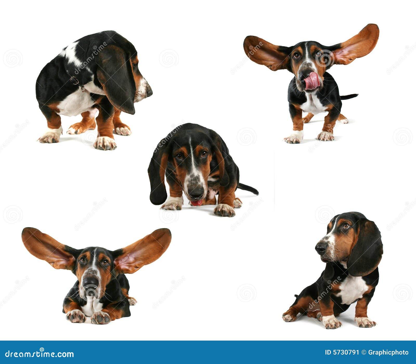 Basset hound group