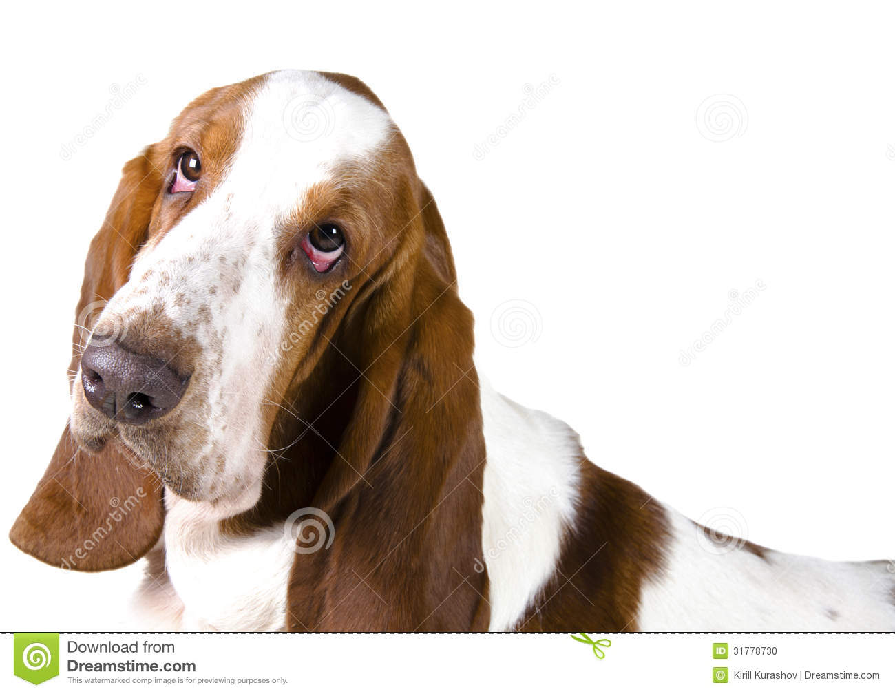 Stock Photo Basset Hound Portrait Isolated White Image31778730 on italian mansion plans