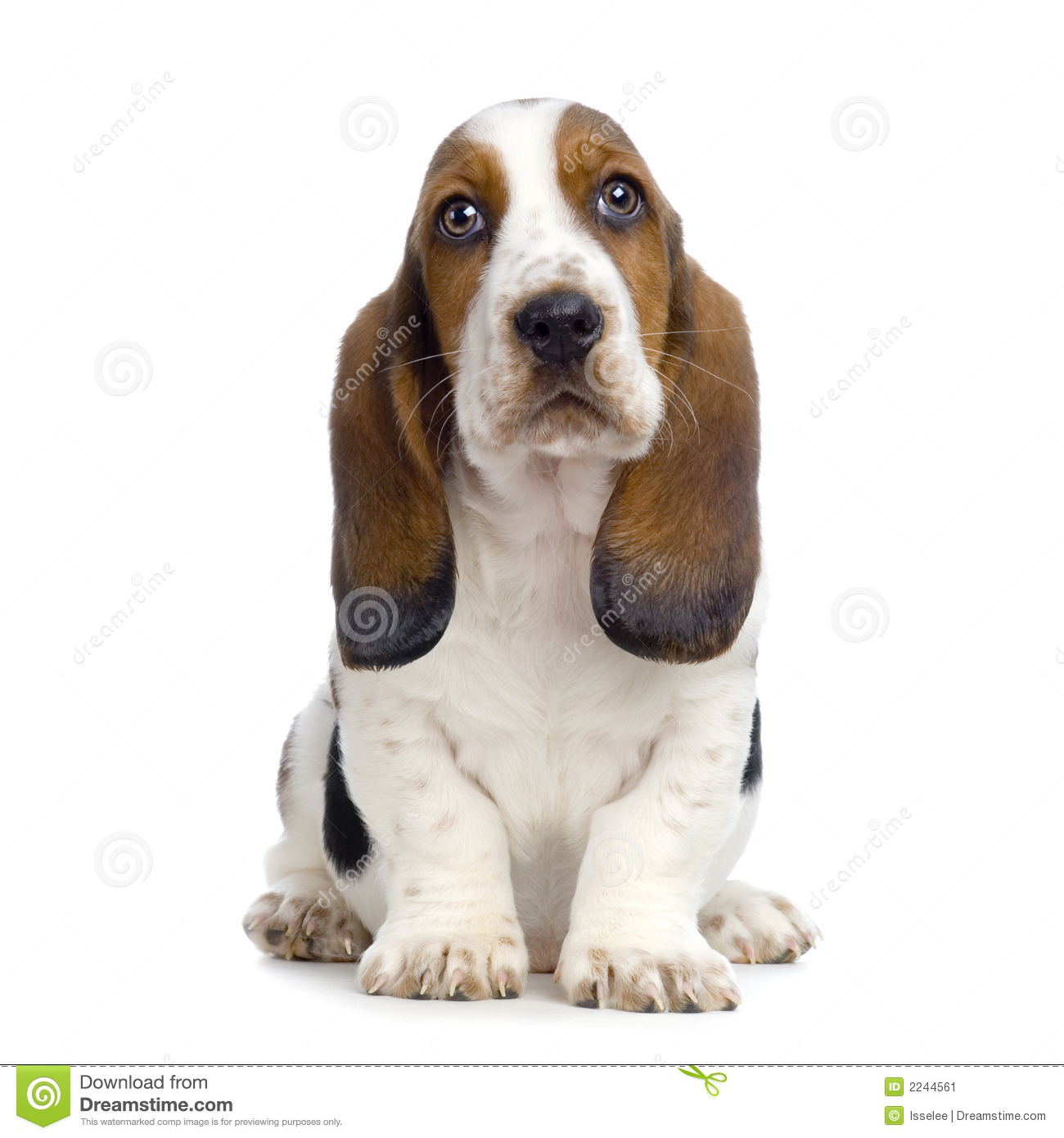 More similar stock images of ` Basset Hound Puppy ` White Parson Russell Terrier