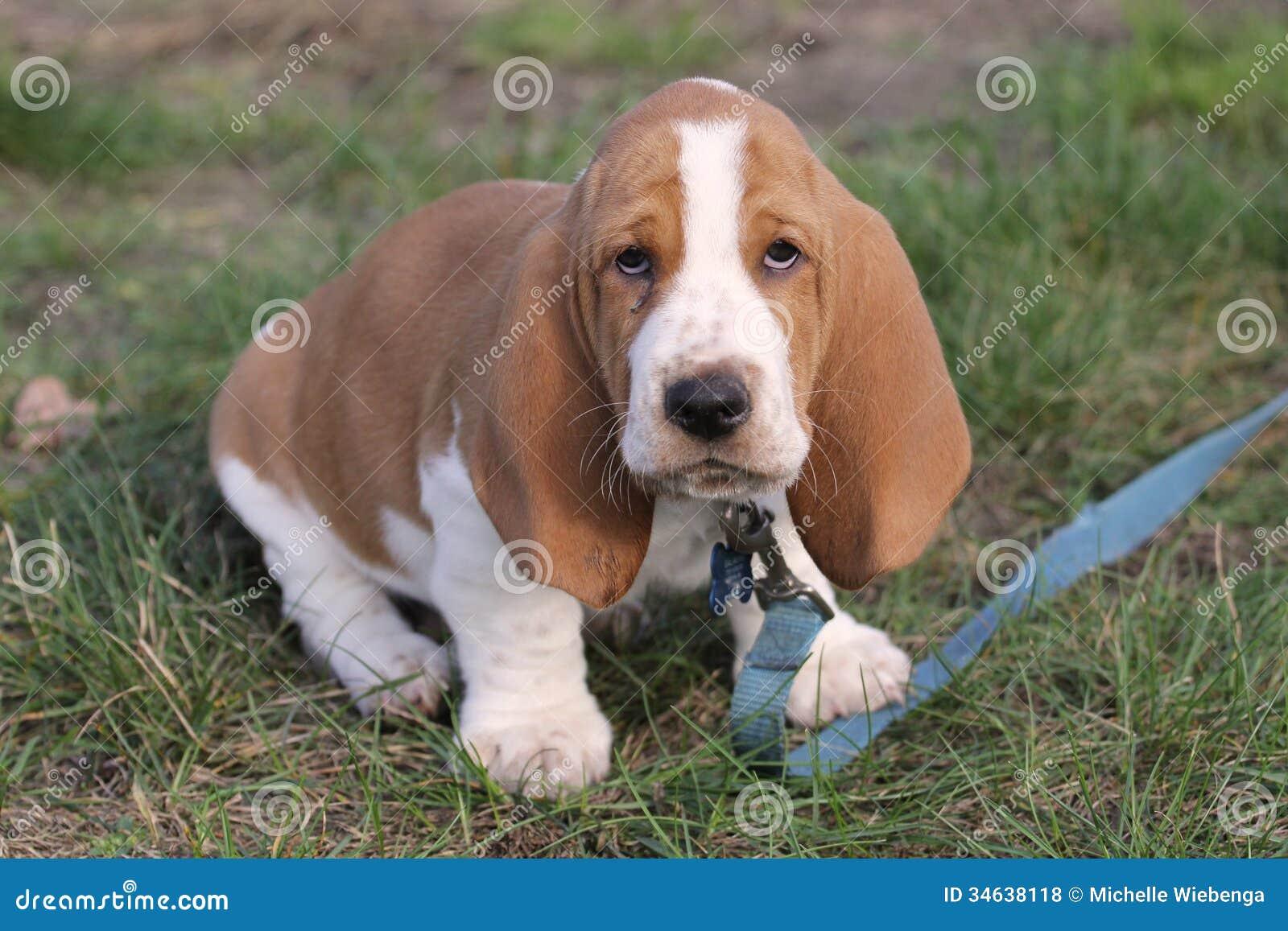 Basset Hound Puppy Royalty Free Stock Photos - Image: 34638118