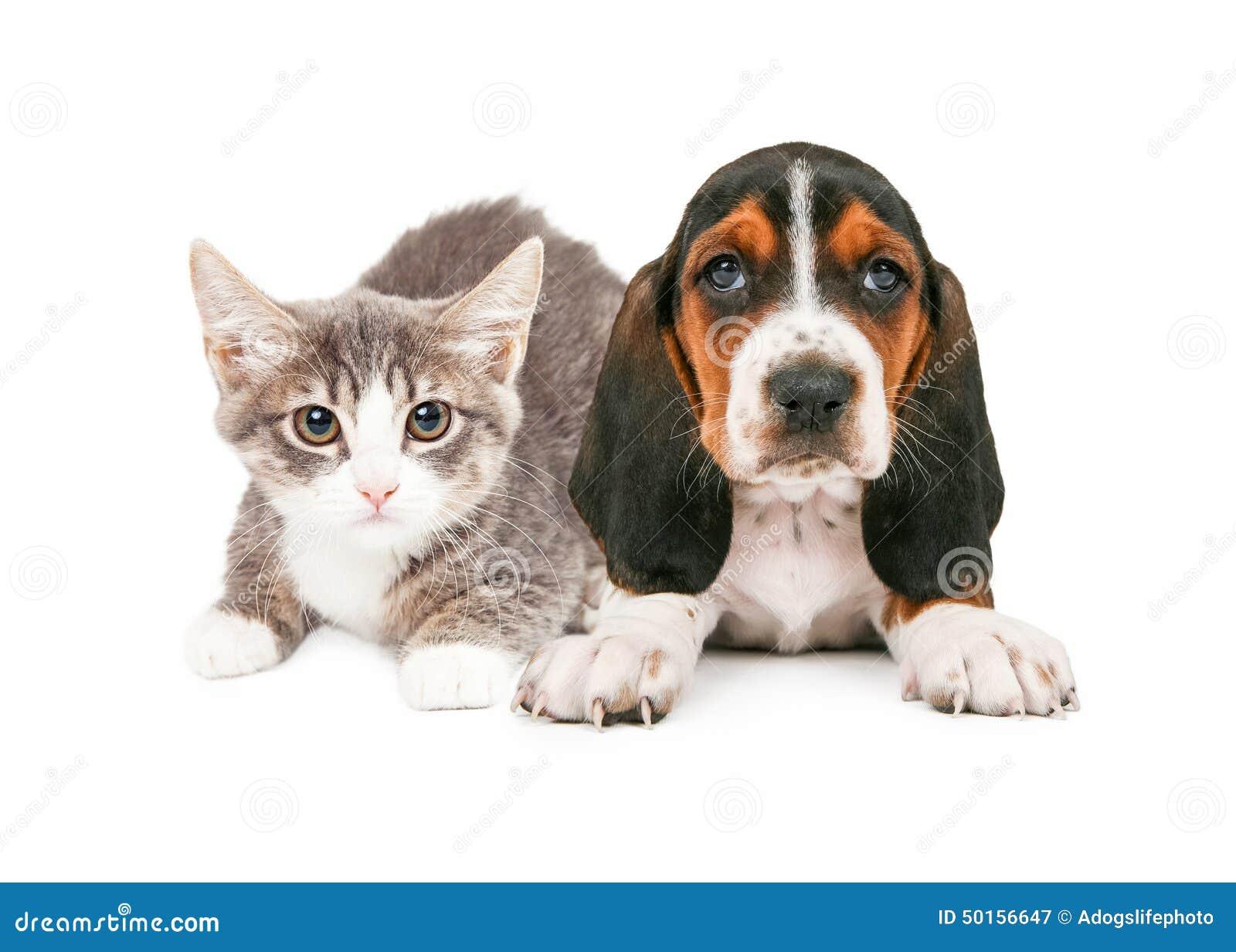 Basset Hound Puppy And Kitten Stock Photo - Image: 50156647