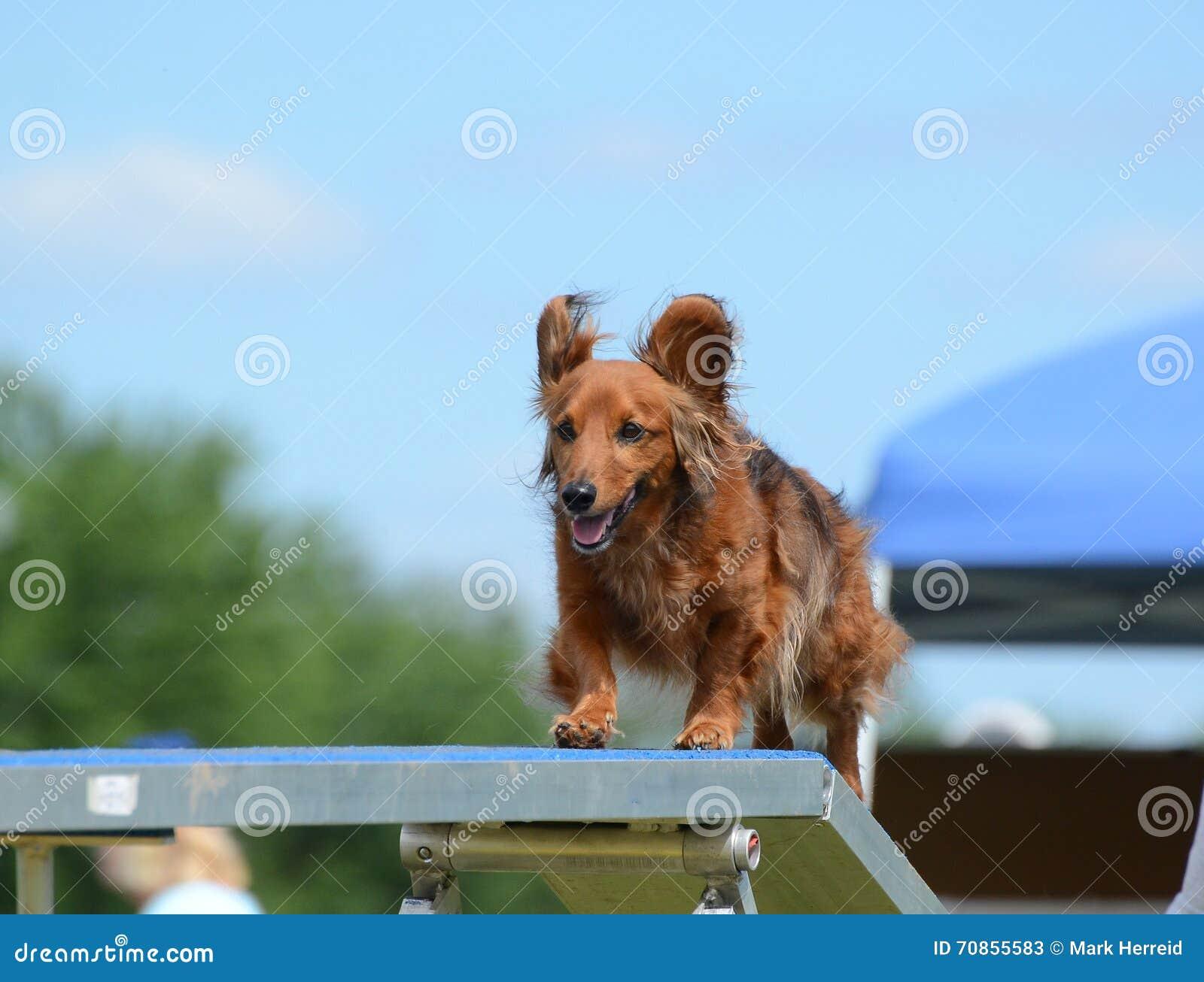 Bassotto tedesco ad una prova di agilità del cane