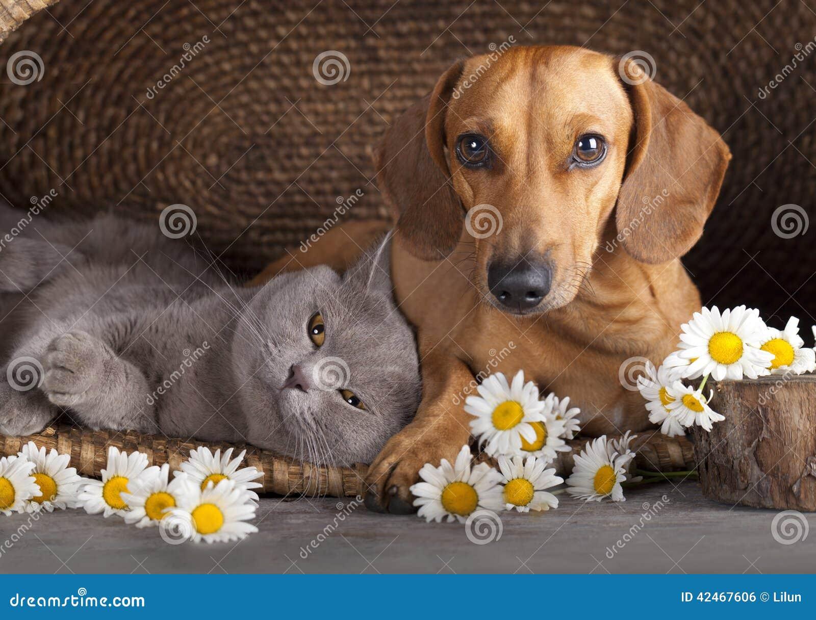 Bassotto tedesco di rosso del cucciolo e del gatto for Bassotto cane