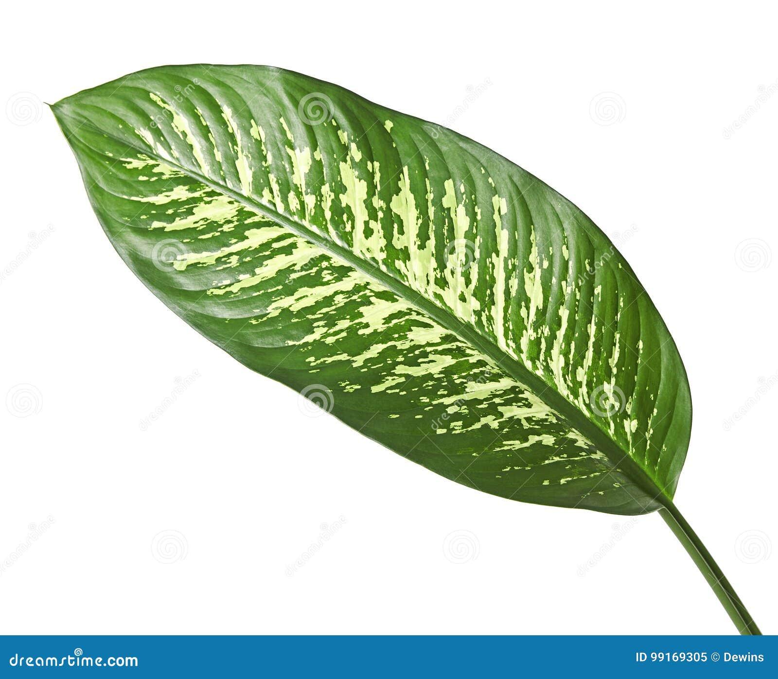 Bastão mudo da folha do Dieffenbachia, folhas do verde que contêm os pontos brancos e mancha, folha tropical isolada no fundo bra