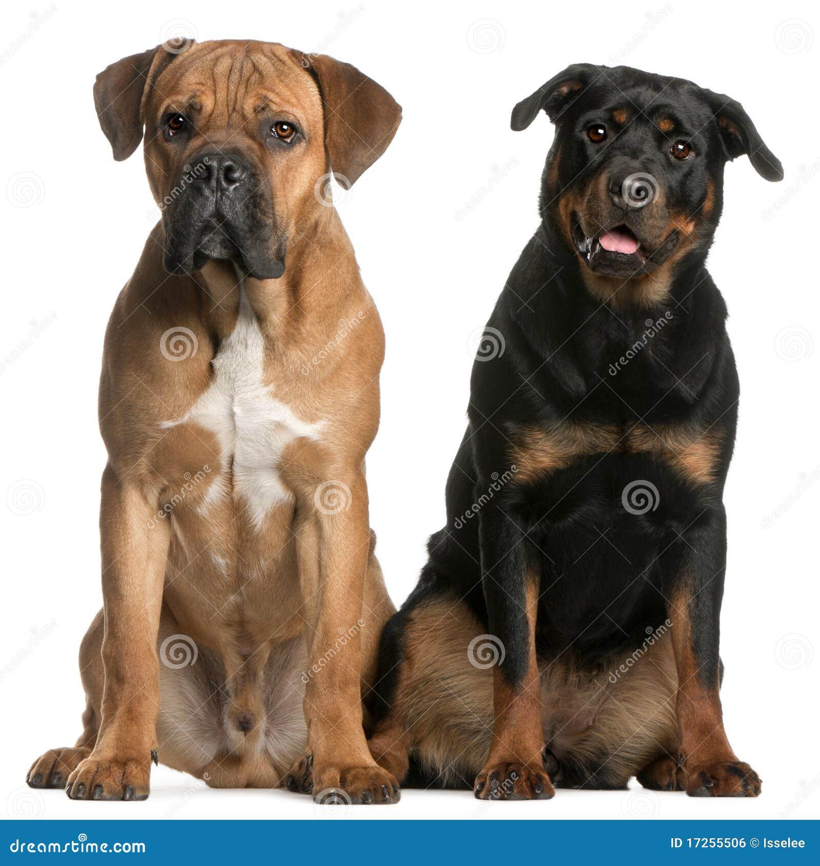 Bastón Corso y un Rottweiler