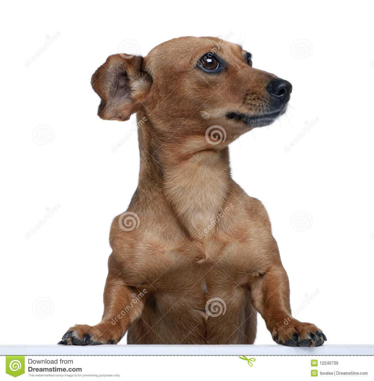 Bastard Dog In Front Of White Background Royalty Free