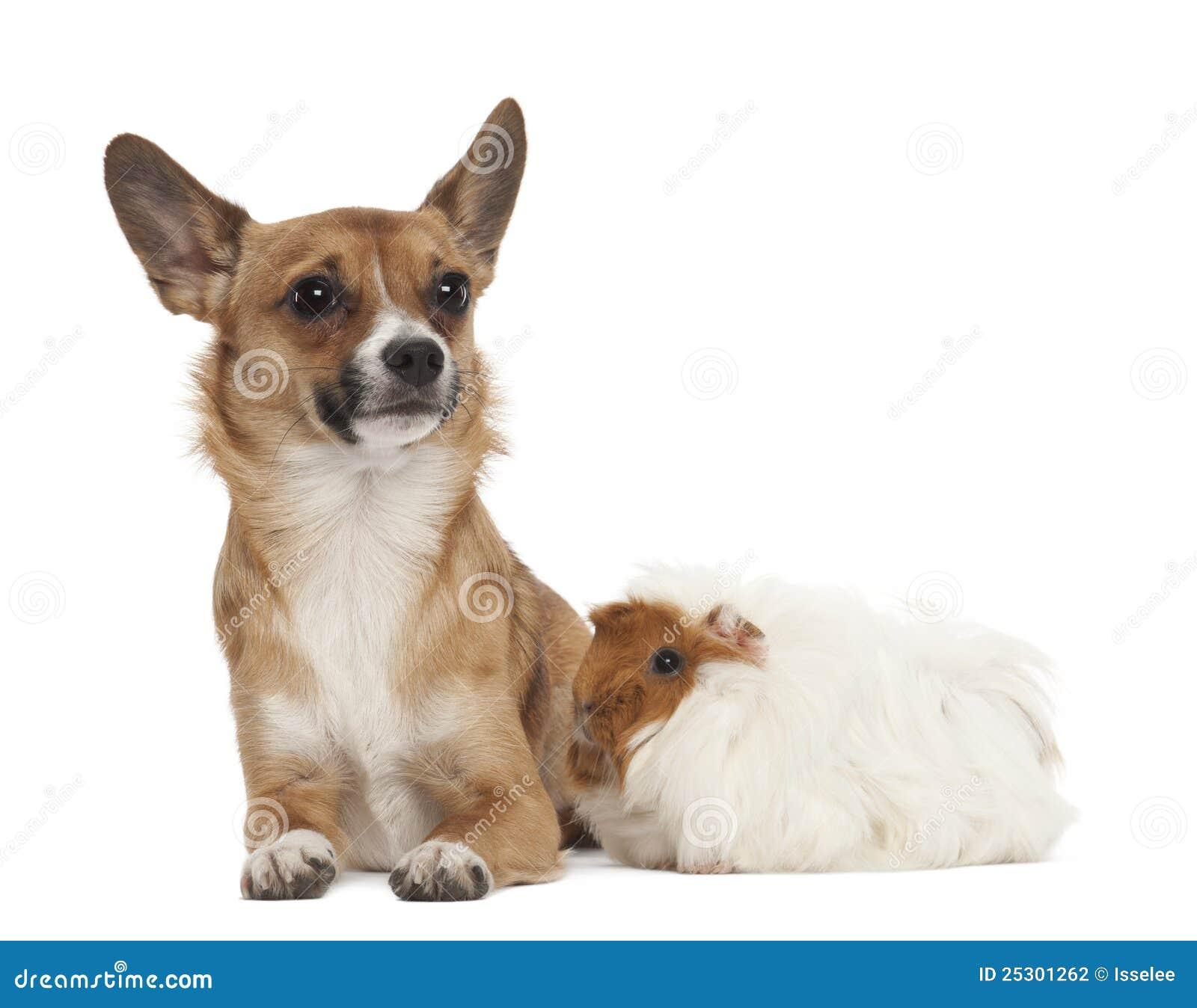 Bastard Dog And Guinea Pig Stock Photography