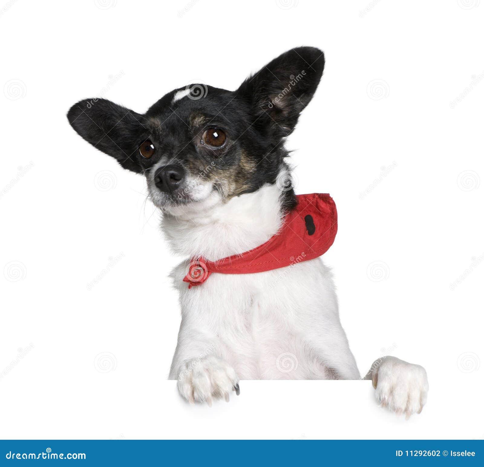 Bastard Dog Sitting In Front Of White Background Stock