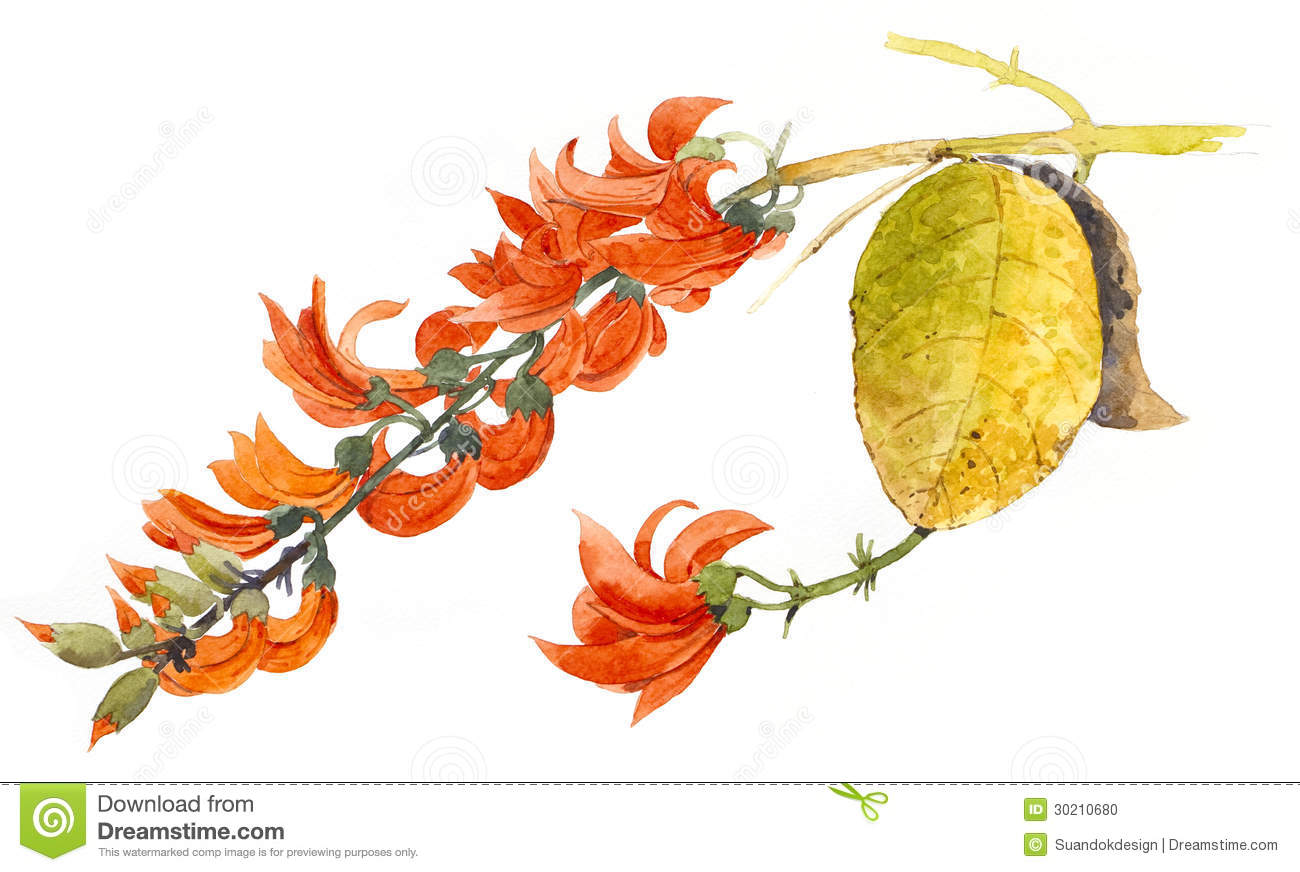 Flame of the Forest stock illustration. Illustration of ...