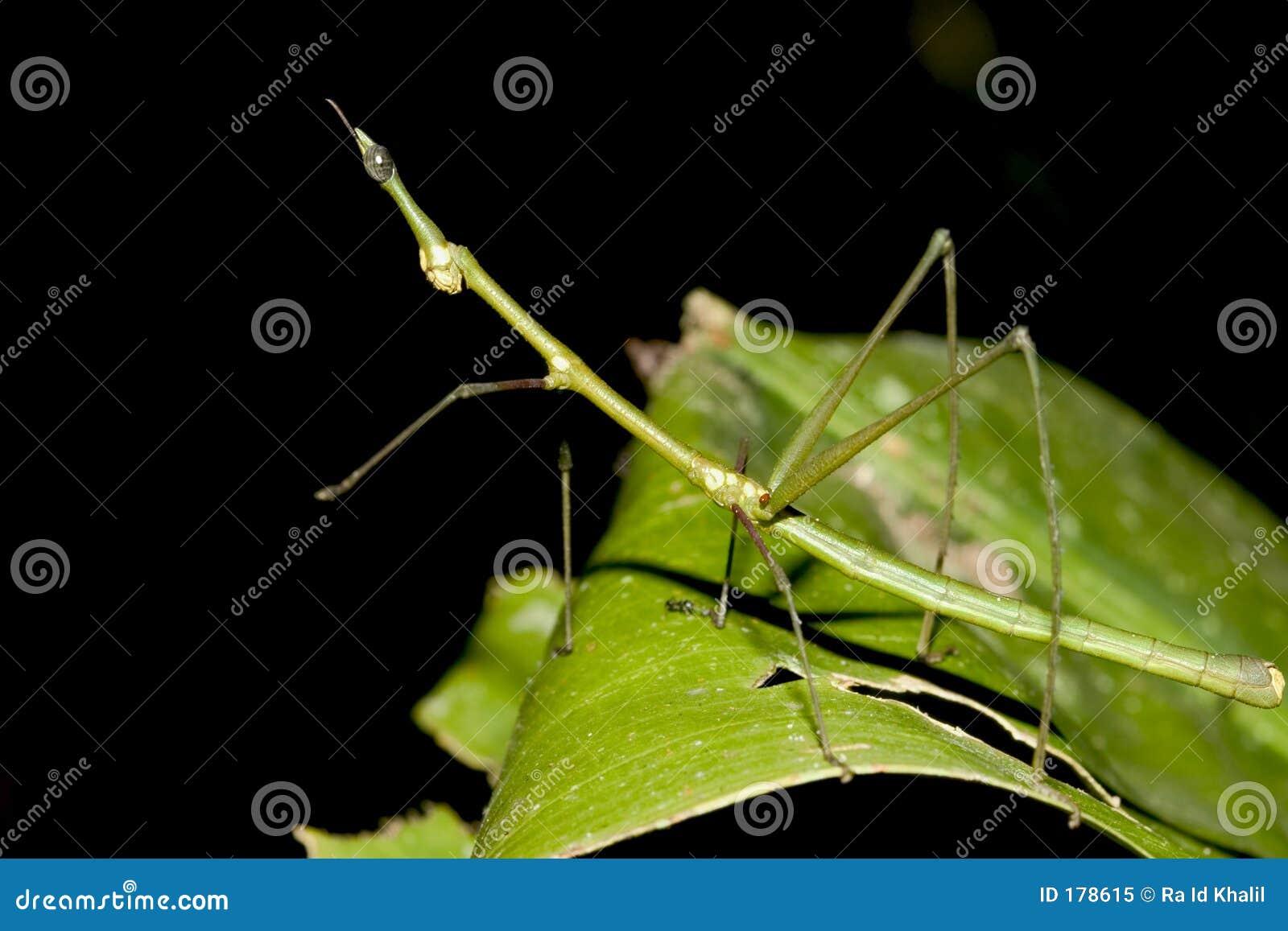 Bastone da passeggio verde - Ecuador