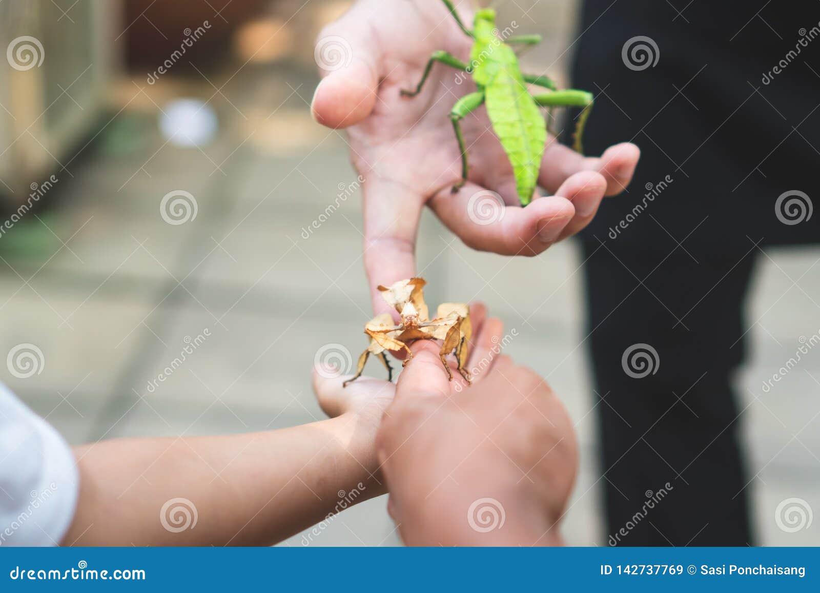 Bastone della cavalletta sulla mano del genitore e del bambino