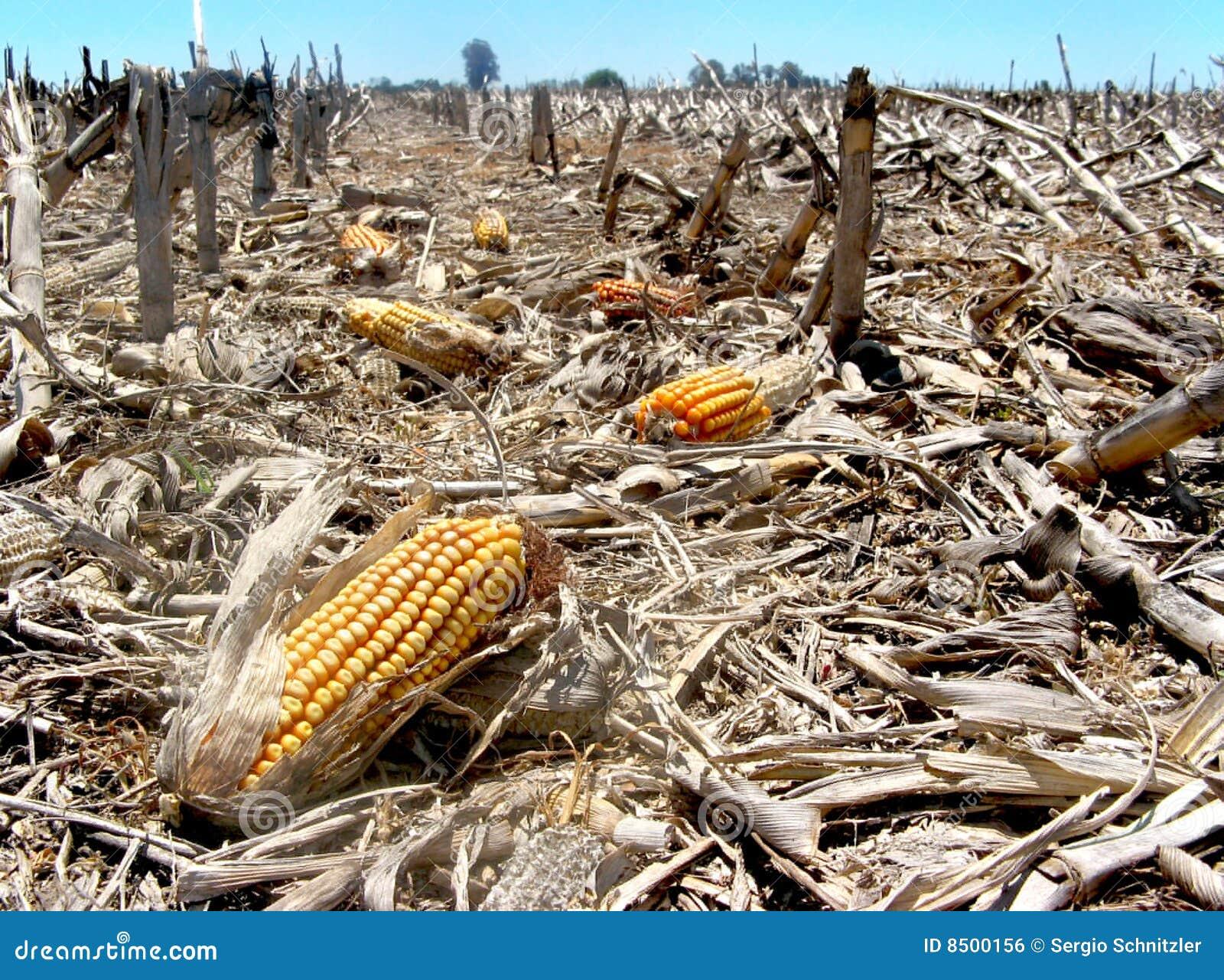 Basura del maíz