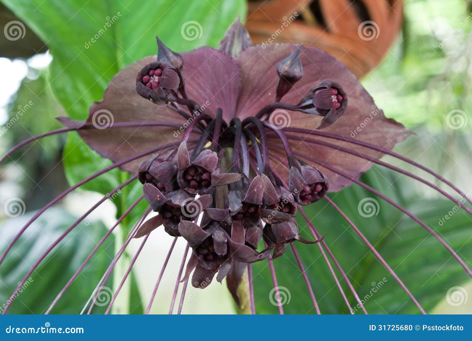 Bat Flower Stock Image