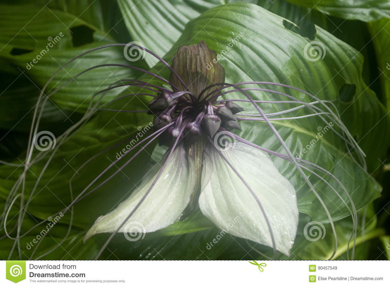 Bat Flower In White And Purple Stock Image Image Of Bracts