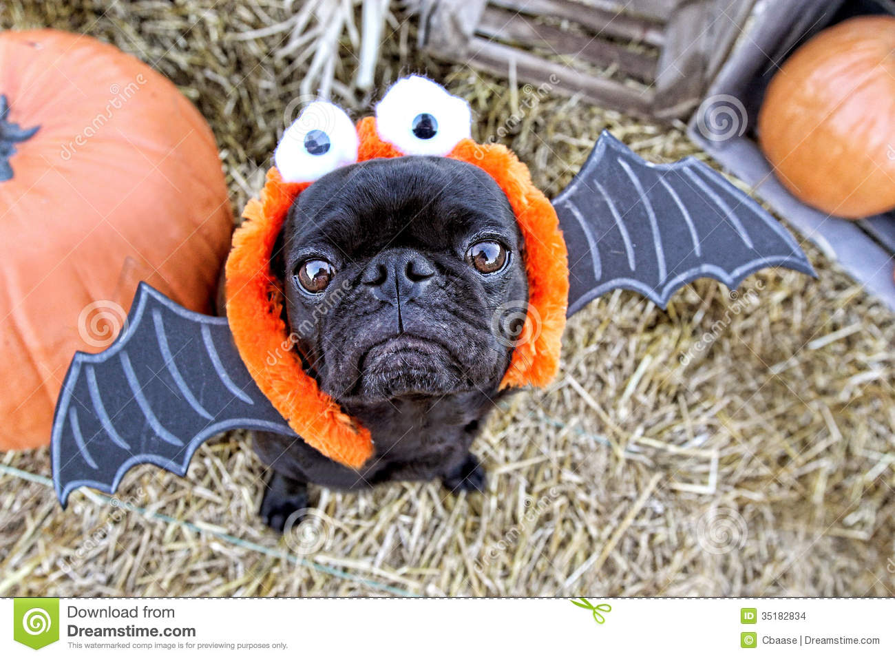 download bat pug stock photo image of halloween costume straw 35182834
