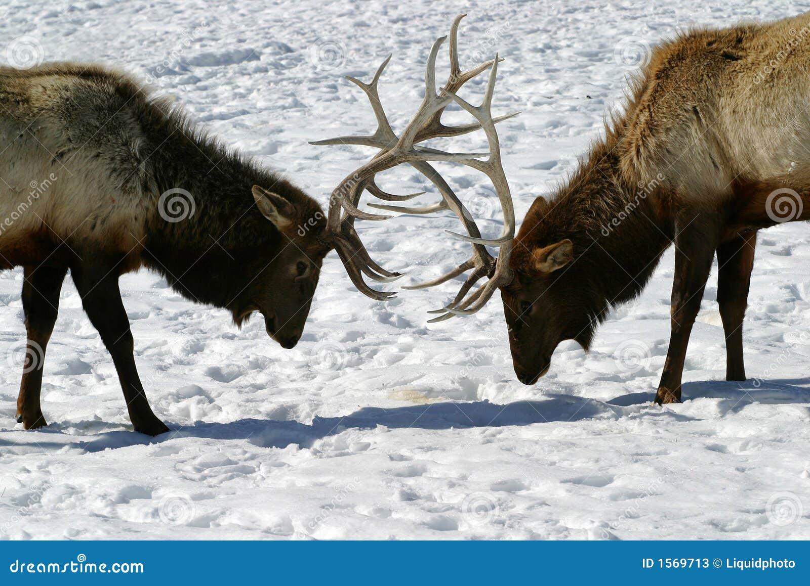 Batalha dos alces de Bull
