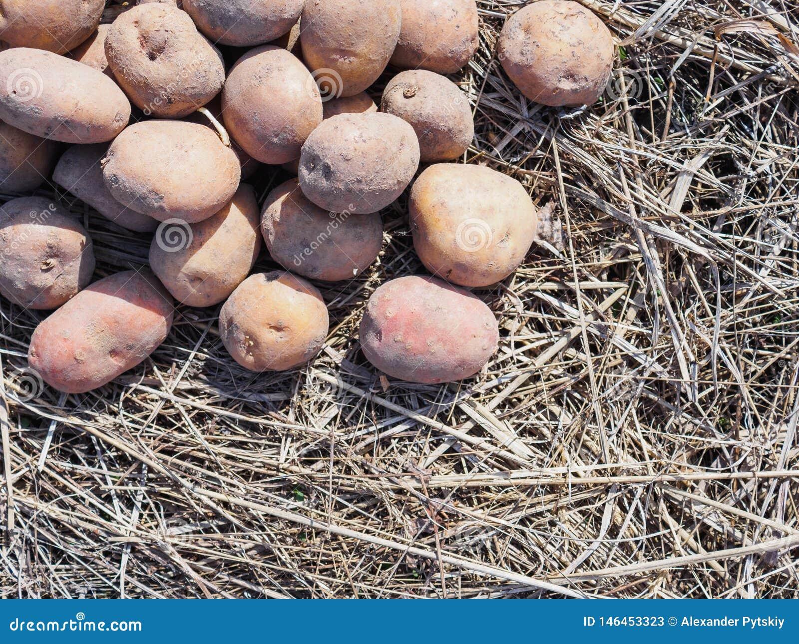 Batatas de semea??o da mola na grama seca Pode usar-se como o fundo