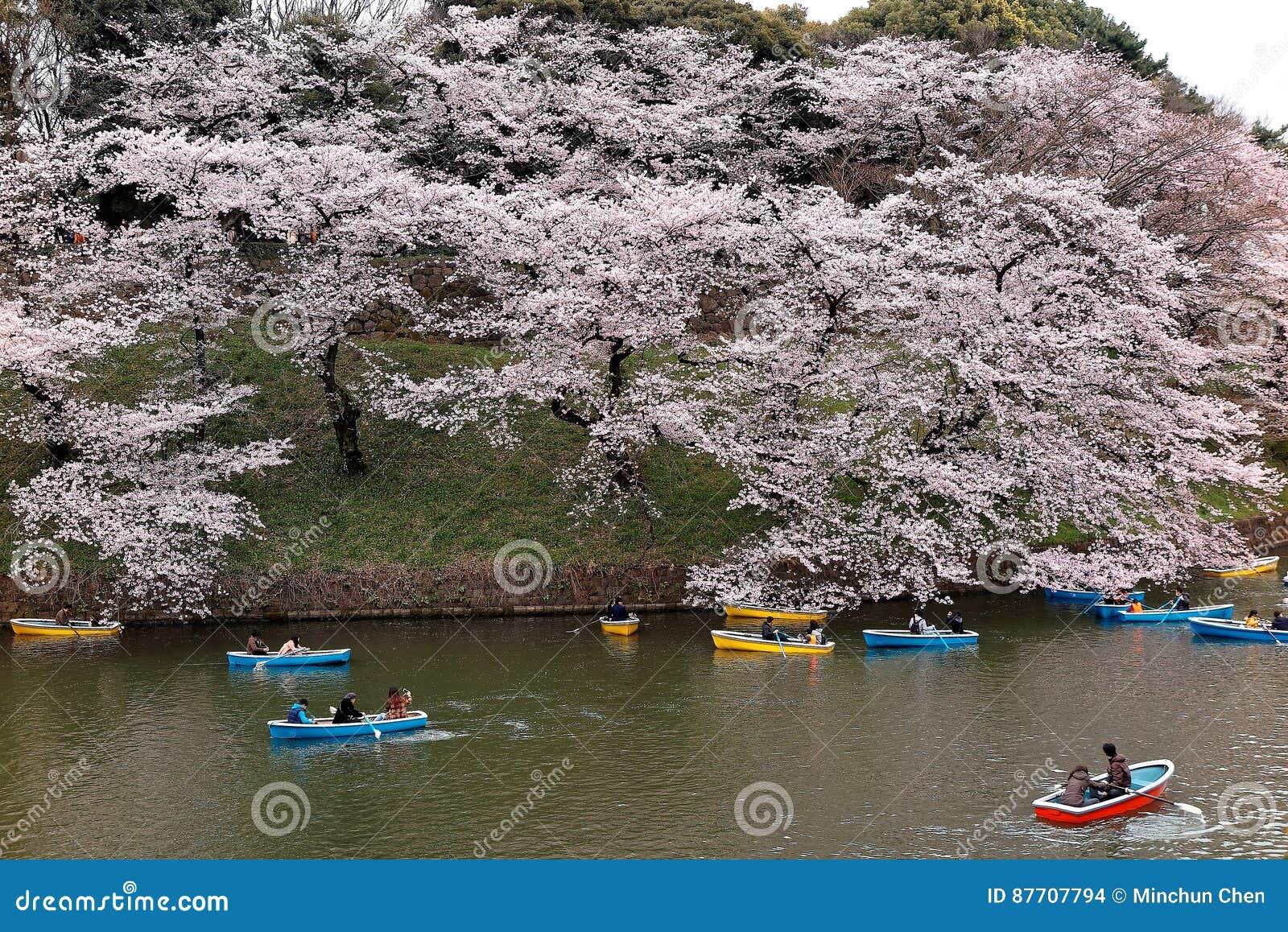 Bateaux à rames de touristes sur un lac sous de beaux arbres de fleurs de cerisier en parc urbain de Chidorigafuchi pendant la Sa