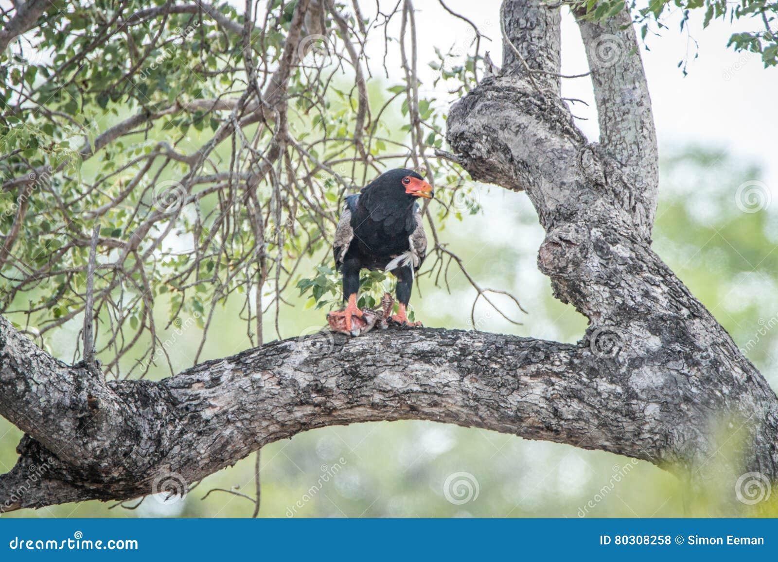 Bateleur die in een boom eten