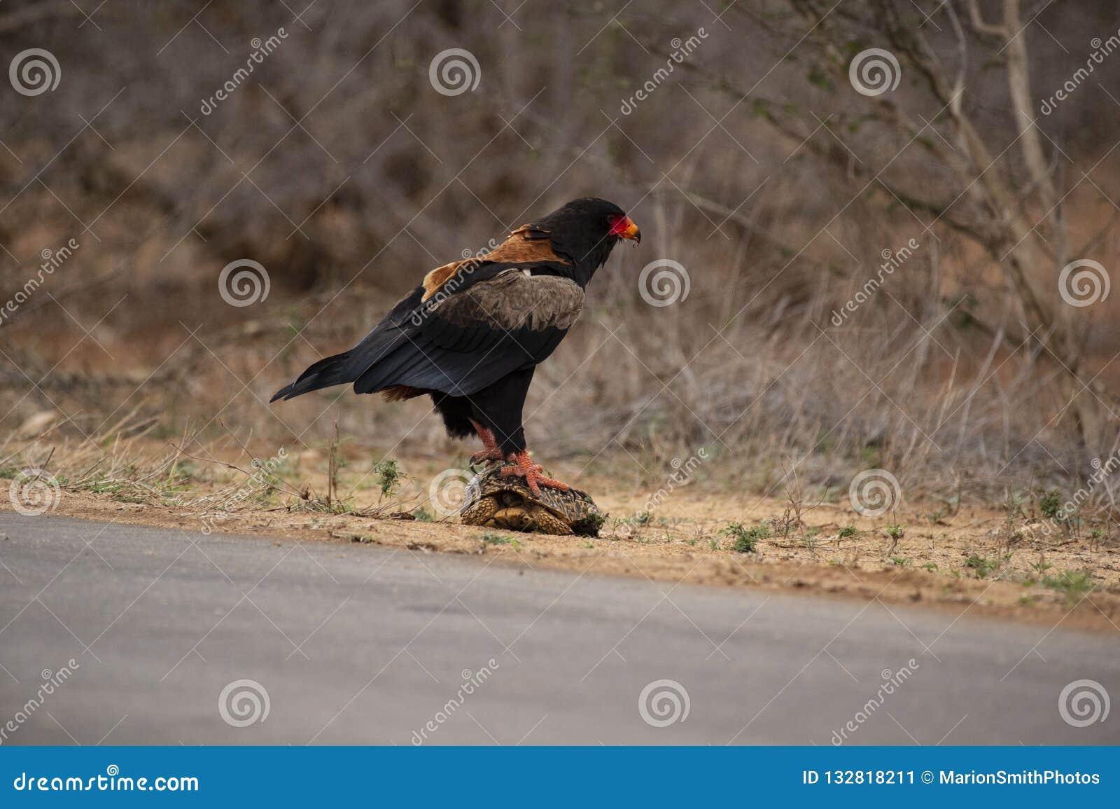 Bateleur Eagle, ecaudatus di Terathopius, stante sulla tartaruga con di nuovo alla macchina fotografica